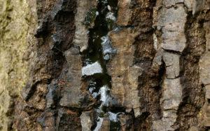 Acute Oak Decline